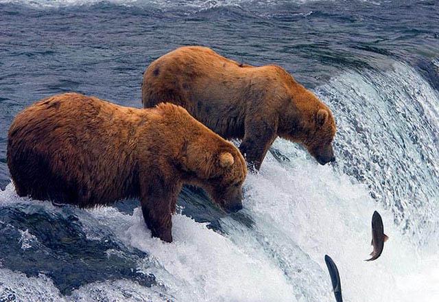 bears fishermen