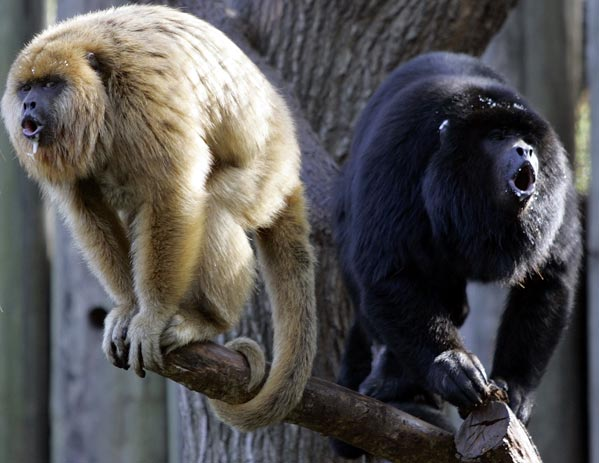 black and white monkeys