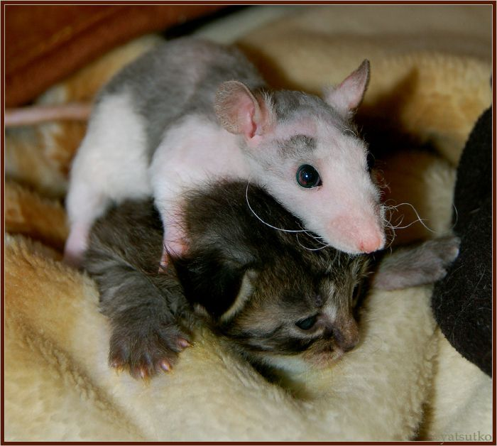 cat and rat friends