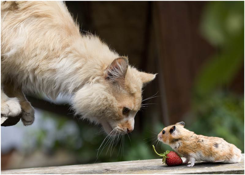 cat mouse strawberry 1