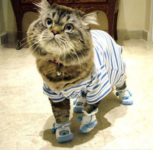 cats wear