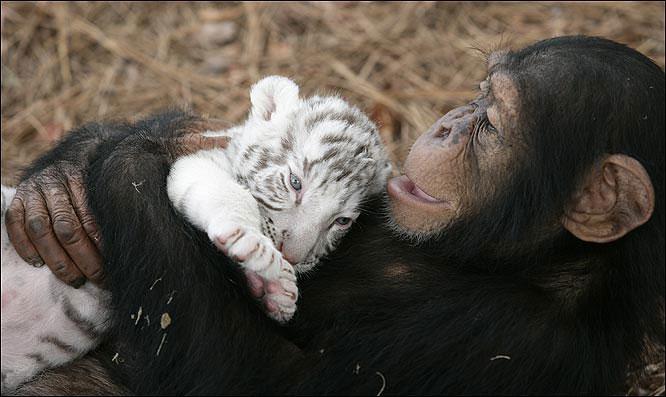 chimpanzee tiger 10