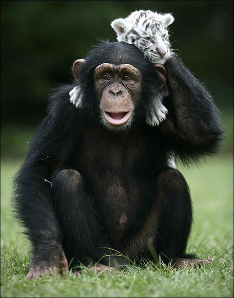 Chimpanzees info and games Sheppard Softw
