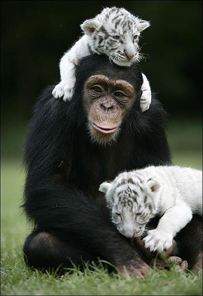 chimpanzee tiger 14