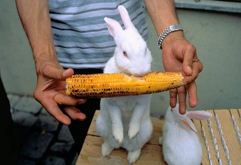 corn for rabbit
