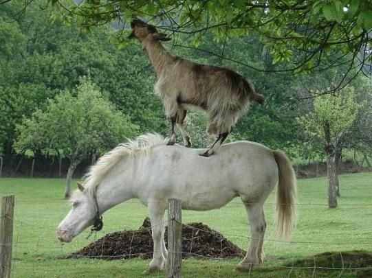 pets.onas.ru :: dog and goat eating :: funny pictures