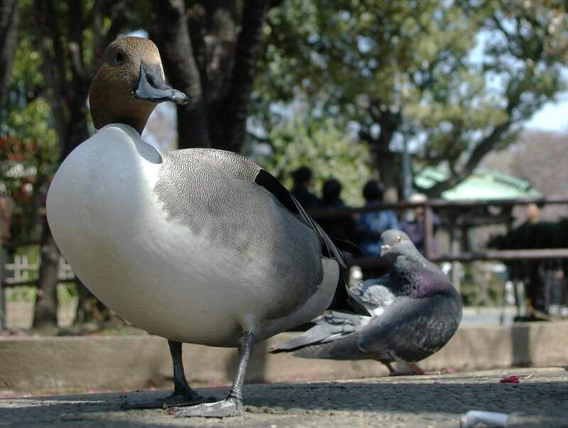 duck and dove