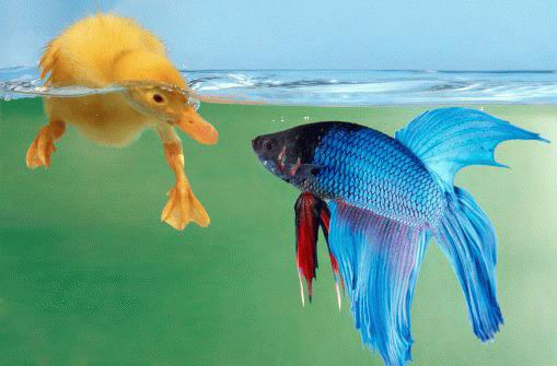duck under water and fish