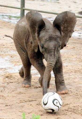 elefant soccer