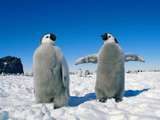 furry pinguins