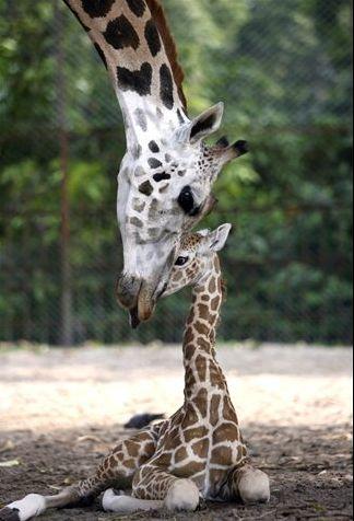 giraffe mother and little giraffe