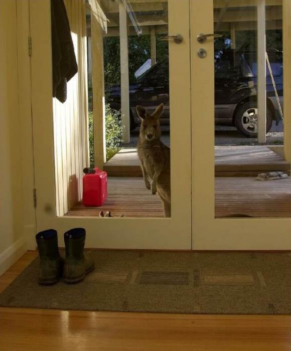 kenguru guest
