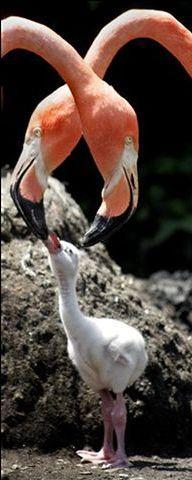птицы: Маленький фламинго