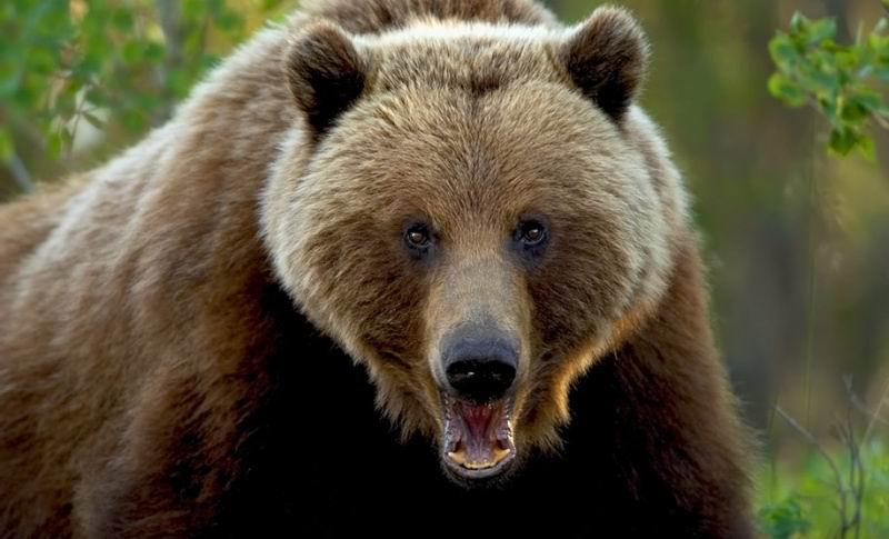 looking bear