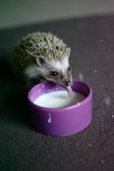 milk for hedgehog