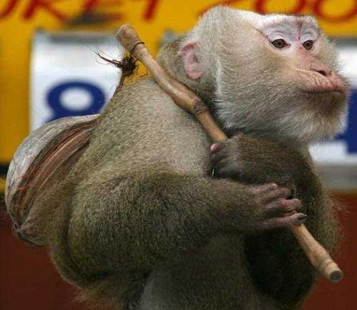 monkey walker