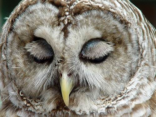 owl sleep