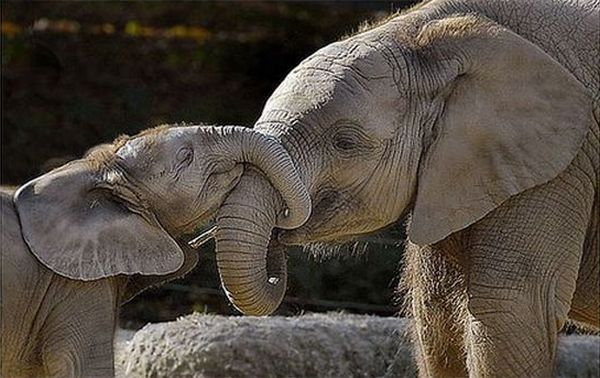 parents elephants
