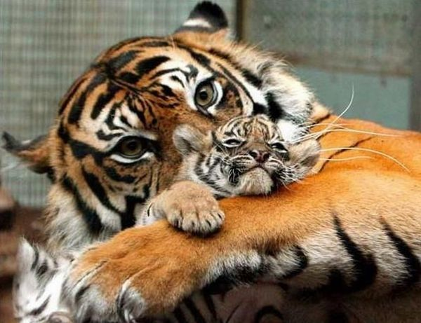 parents tigers