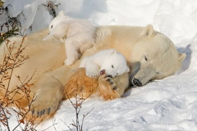 parents white bears