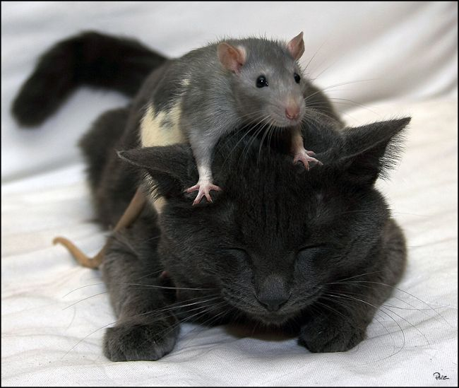 rat and big black cat