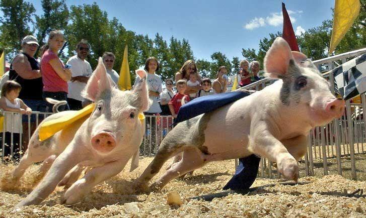 running pigs