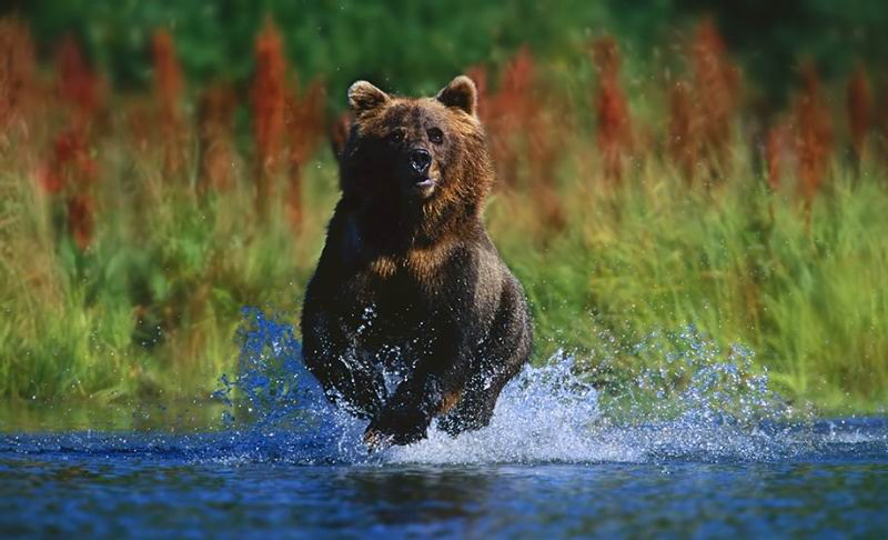 http://pets.onas.ru/running_bear.jpg