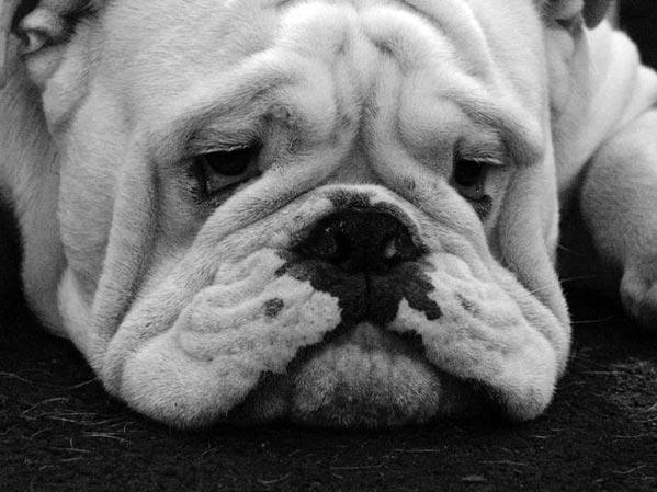 sad bull dog