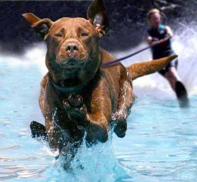 serfing dog