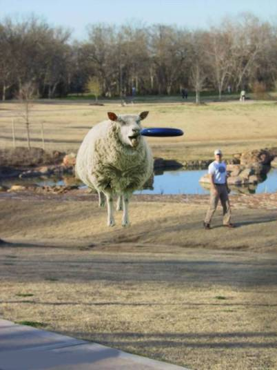 sheep freesbey