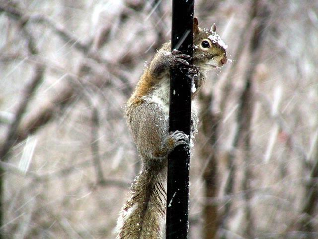 squirrel in ice