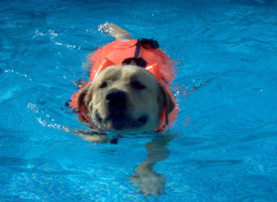 swiming dog