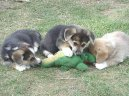 3 dogs and crocodile