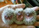 3 little hedgehogs