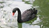 птицы: Черный лебедь.