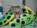 cat in the boa