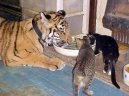 cats and big cat