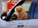 dog little driver