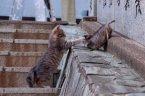 кошки: Ага, попался!
