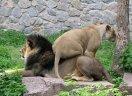 львы и тигры: Реальное положение в семье