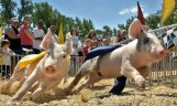 running-pigs