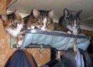 triocats