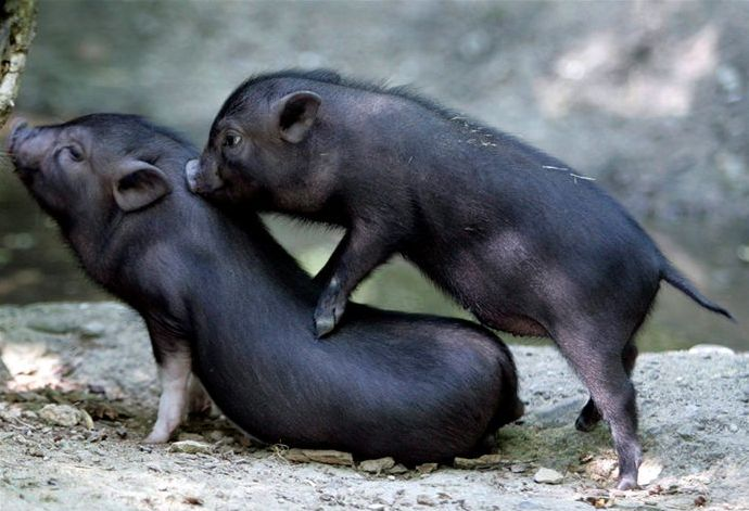 two black pigs