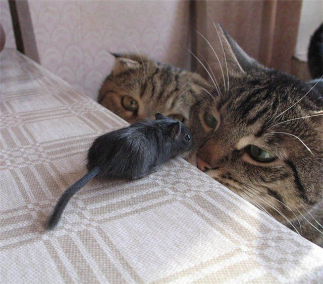 two cats and black mouse
