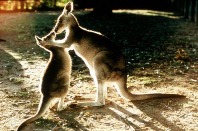 two kenguru