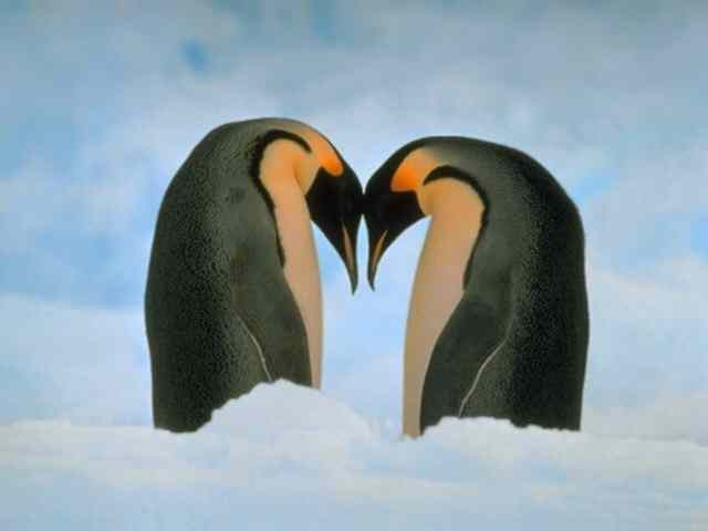 two pinguins heart
