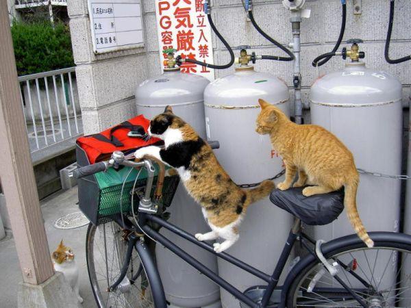 velo cats