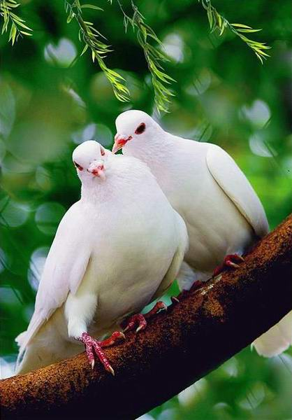птицы: Любовь и голуби